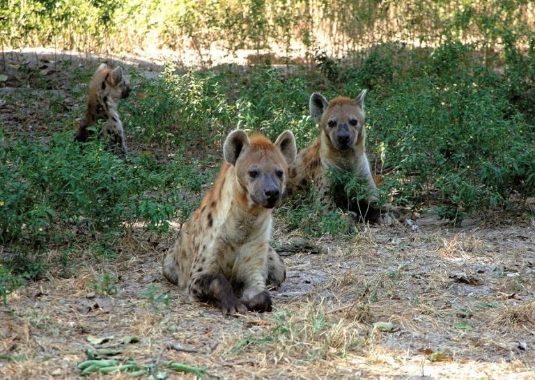 Escaped Abuko hyena recaptured
